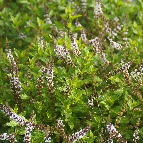 Mentha species 'Nemorosa' - Hemingway-Minze, Mojito-Minze